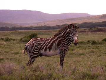 Lewa-Downs- Grevyzebras