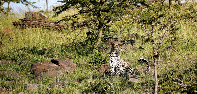 Leopard Mara North