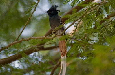 rhino-watchlodge- Paradise-Flycatcher
